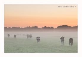 Koeien in de mist bij zonsopkomst